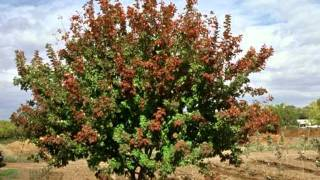 Hot Wings Tartarian Maple