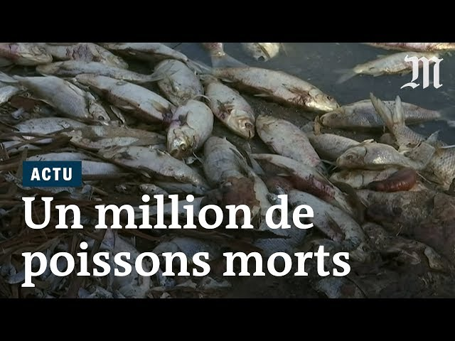 Un million de poissons retrouvés morts en Australie