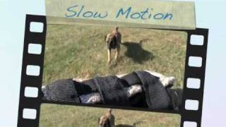 Off Leash Protection Dog Training (portland And Seattle)