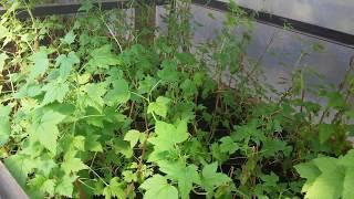 Купить рассаду черной и красной смородины из питомника в Подмосковье с доставкой