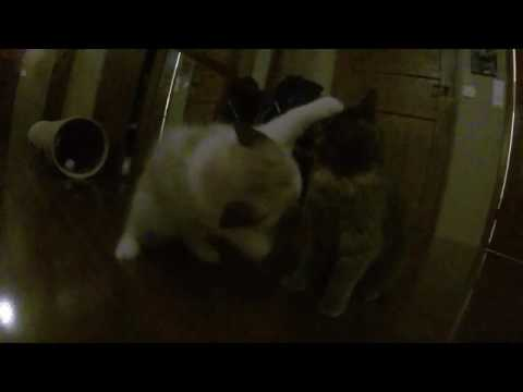 Ragdoll kitten vs domestic cat