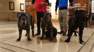 Neapolitan Mastiff for Westminster dog show at Pennsylvania Hotel
