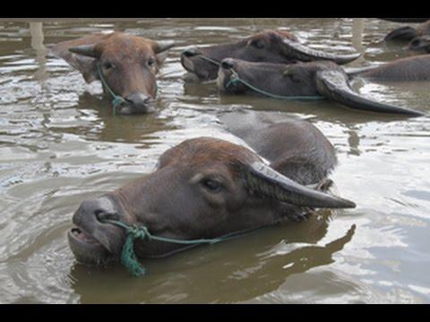 Water buffalo: ดูฝูงควายเล่นน้ำดับร้อนน่ารักมาก โรงเรียนกาสรกสิวิทย์ สระแก้ว sakaeo  Thailand