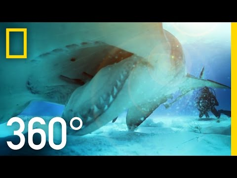 Thumbnail: 360° Great Hammerhead Shark Encounter | National Geographic