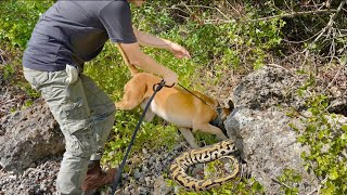 TRAINING POLICE DOGS TO SNIFF OUT INVASIVE PYTHONS !