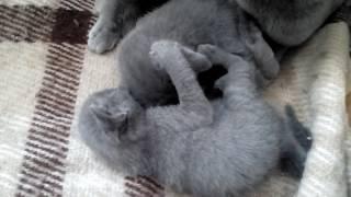 Очаровательные малыши. Русская голубая кошка. Питомник Shelaeff*BY.