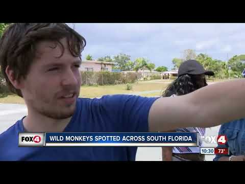 Wild Monkeys Spotted Across South Florida
