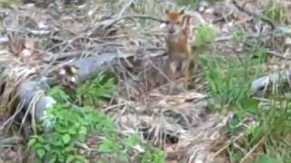 Baby Fawn Crying And Rescued By Mother