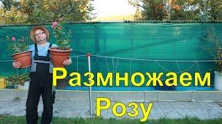 Розы.Размножаем Розу.Огород Баварский.