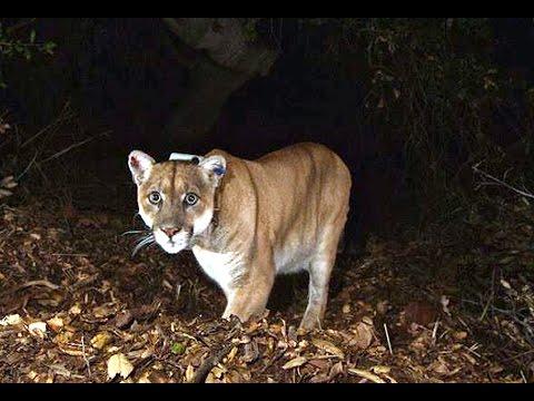 Mountain Lion found under LA house
