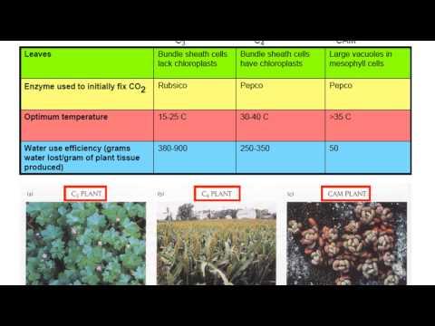 Plant Adaptations: C3, C4, CAM Photosynthetic Pathways