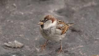Голоса птиц как поёт Воробей (Passer domesticus)