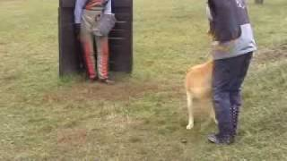 Labrador Protection, Schutzhund, Ipo Training Bozso 2009 :d