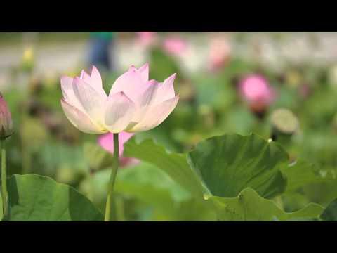Rosa del Nilo - Nelumbo nucifera