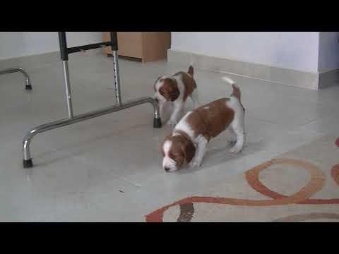 Welsh springer spaniel puppies - Ruby´s litter