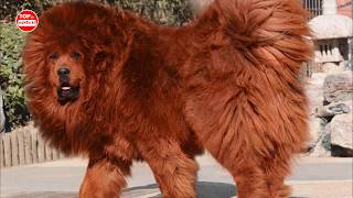 10 Giống Chó Tàn Bạo Nguy Hiểm Và Lực Lưỡng Bậc Nhất Trên Thế Giới✪Top 10 Huyền Bí