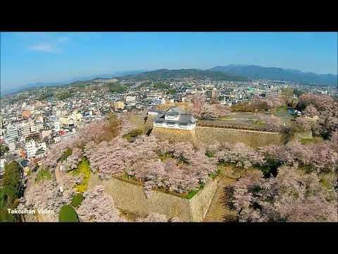 鶴山公園満開の桜