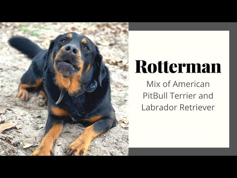 Rotterman - The Unreal Mix breed Of Rottwiler and Doberman