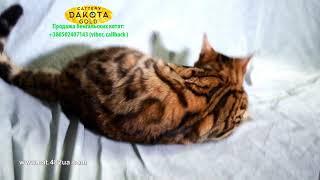 Girl 1, Dakota Gold, bengal cat, cattery, kitten, 07122018