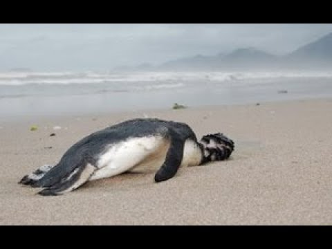 BREAKING: 40,000 ANTARCTIC PENGUINS STARVED TO DEATH