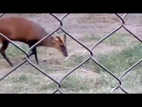 The Indian muntjac (Muntiacus muntjak), also called red muntjac and barking deer