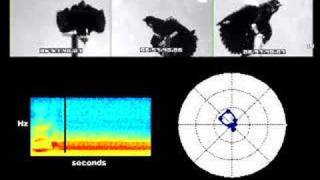 Directional Sound Radiation in a Red-Winged Blackbird Song