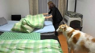 『お母さん、布団敷いて!』 ボルゾイのカイ君 thumbnail