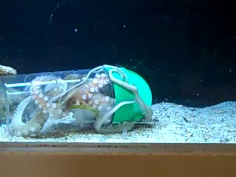 Crafty Octopus opens container to find food - YouTube