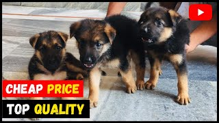 Cheap Price Top Quality German Shepherd Puppies for Sale | Quality Doggyz