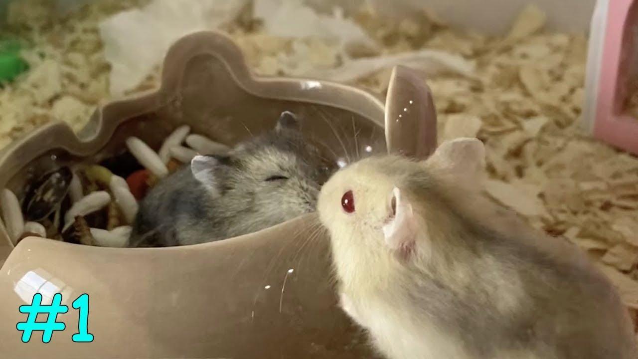 Cute Hamsters Eating | My Cute Hamsters #1