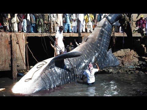 Whale Shark In Pakistan Might Have Died In Fishing Net