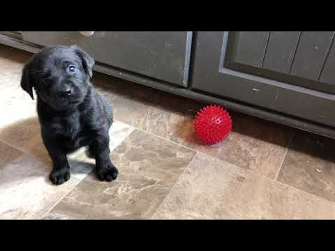 Faith 4-week-old British Labra...