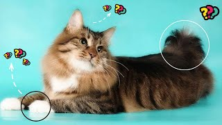 American bobtail    10 facts that you should know about American bobtail cats (Powerful Body Cat)