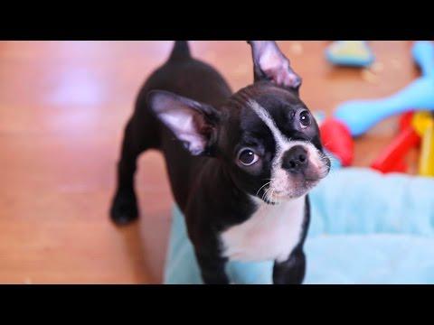 Boston Terrier Puppies - Week 10