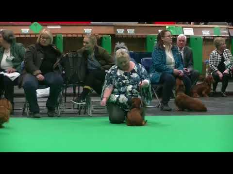 Standard Long Haired Dachshund puppy bith in Crufts 2018