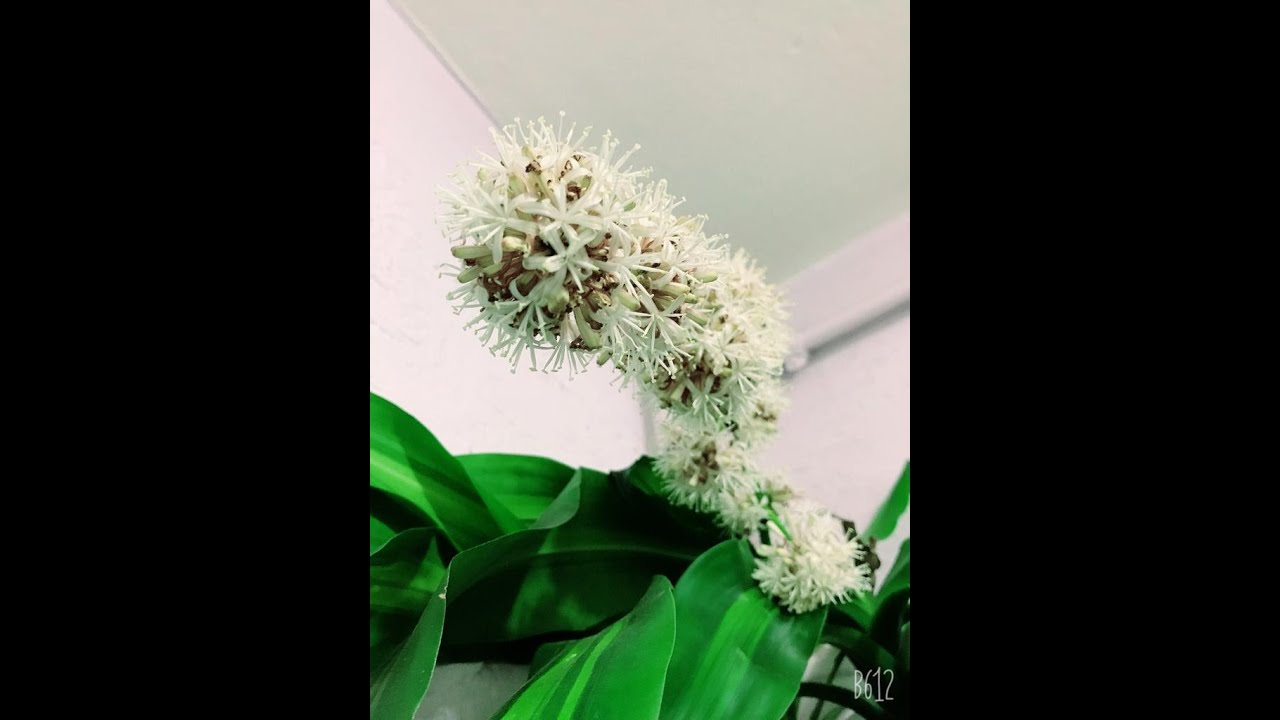 Marginata çiçeğim 6'lı oldu. Dracena Marginata bakımı ve genel bilgileri