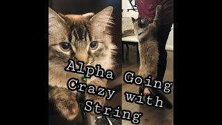 Alpha Plays Crazily with String/ Funny Playful Cat