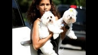 ♫♫ Maltese Potty Training, Dog Training, Maltese Housebreaking