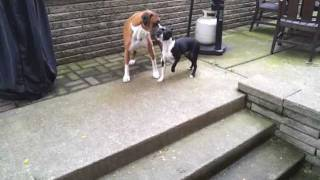 Boxer And Boston Terrier Playing