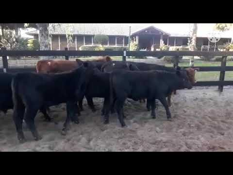 LOTE P02 - 17 TERNEIROS E TERNEIRAS (8M E 9F) PESO MÉDIO 202 KG - VILA MATARAZZO