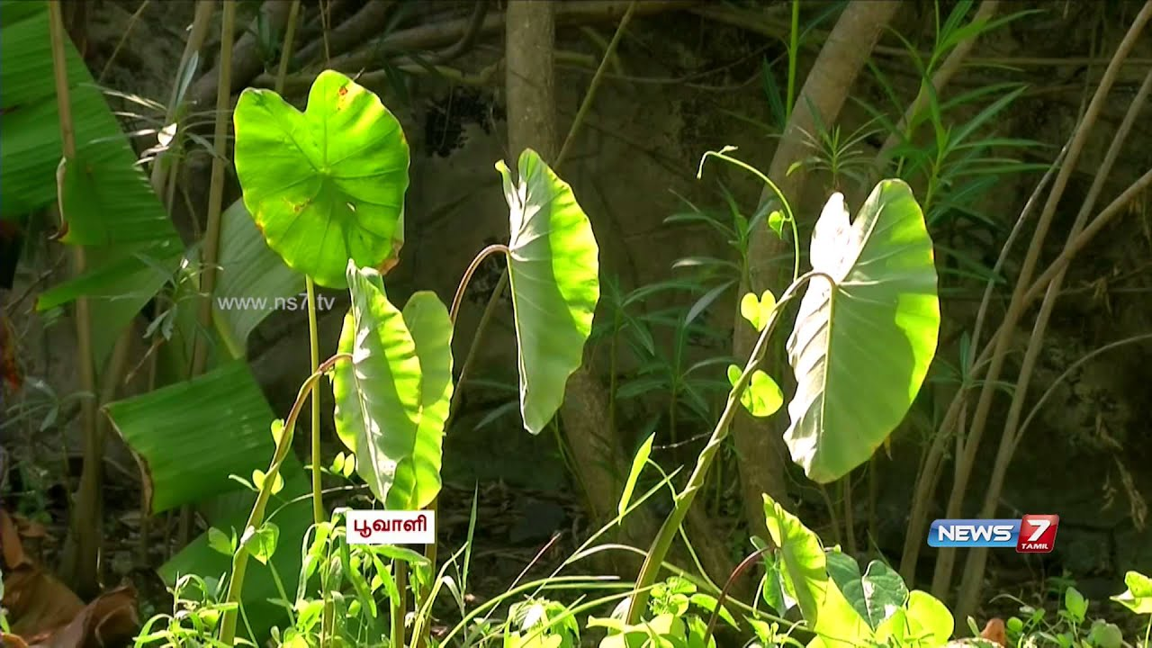 How to grow bitter gourd karela theorganic life - Tips To Grow Bitter Gourd Seppankizhangu Colocasia Your Garden Poovali News7 Tamil