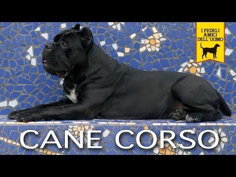 CANE CORSO ITALIANO trailer documentario (Prima Edizione)