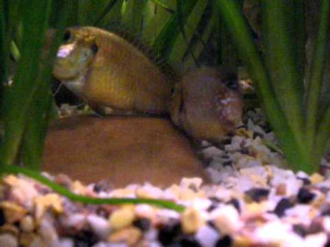 red jewel cichlids and egyptian mouthbrooder mating