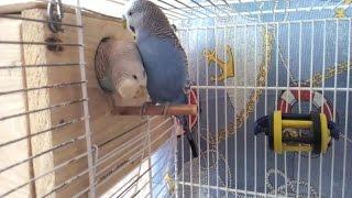 Волнистые попугаи исследуют гнездо.