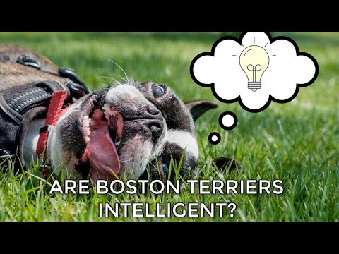 are-boston-terriers-smart?-why-the-boston-is-intelligent