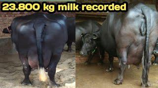 23.800 kg milk record कर पंजाब में इस मुर्रा ने Haryana का नाम रोशन,, jhajjar