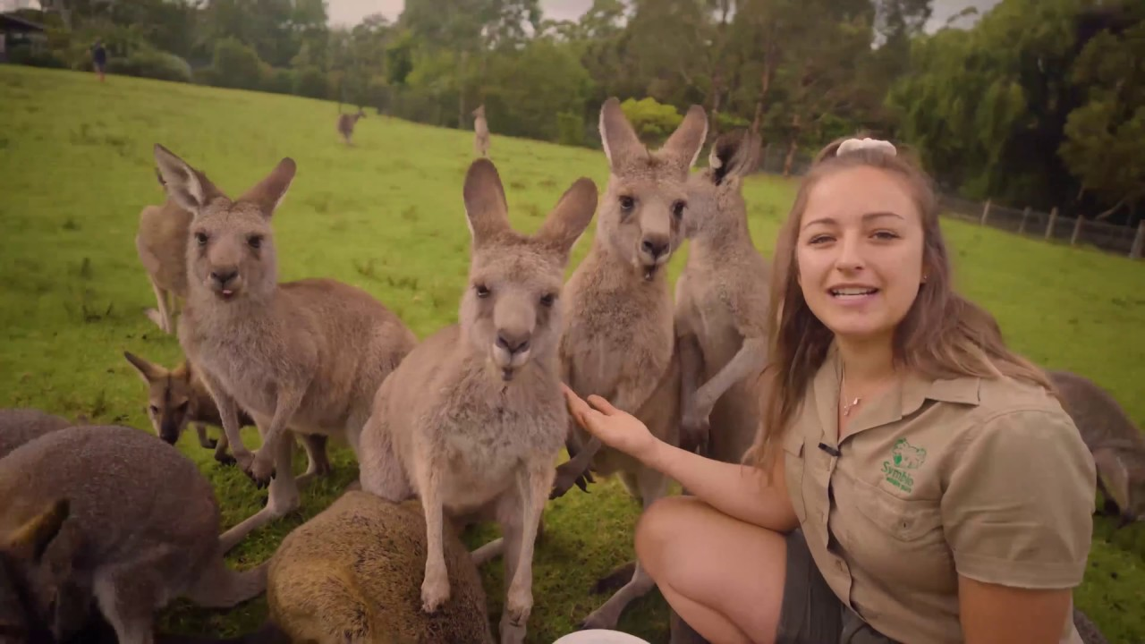 Download Learn all about Kangaroos and Wallabies