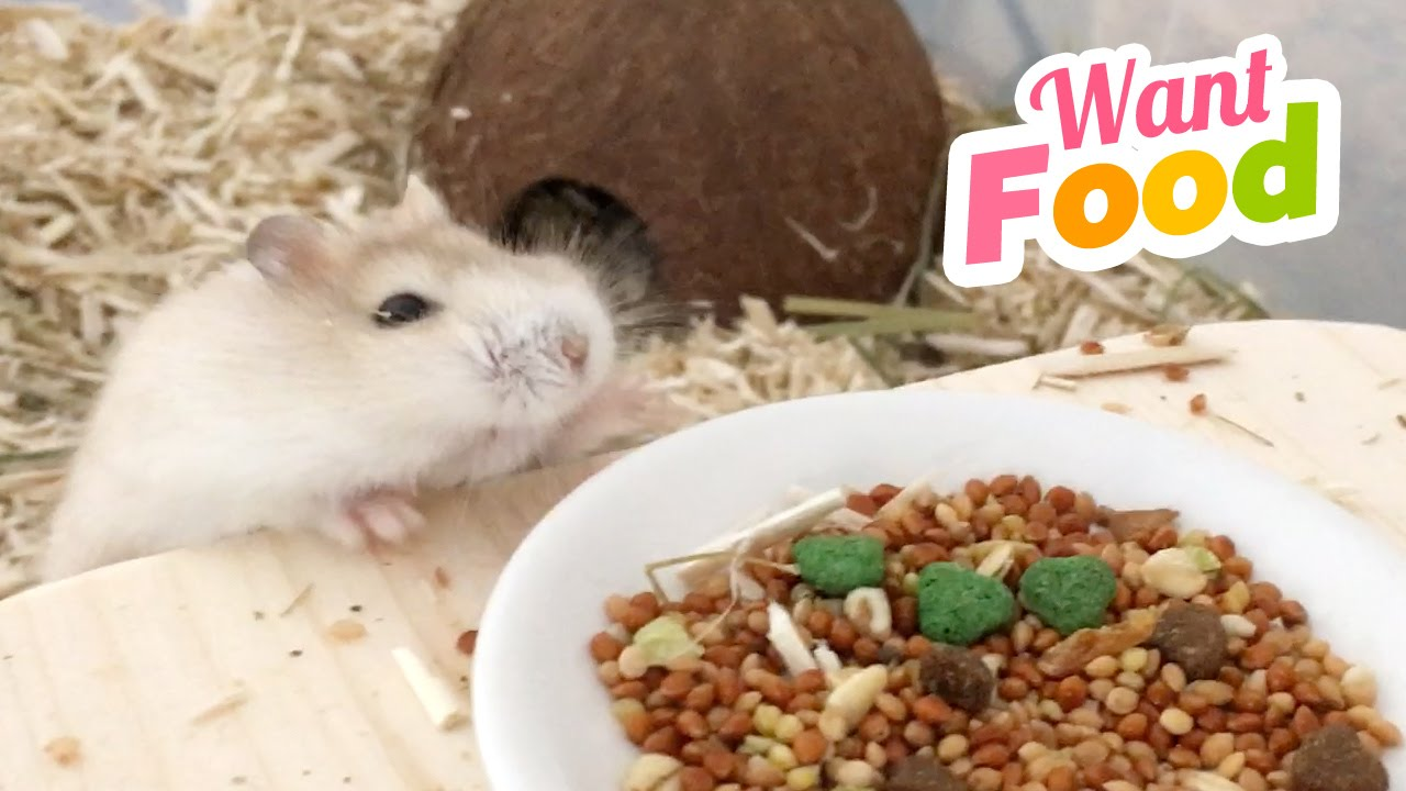 When You Can Smell Food But Cant Reach It Fat Hamster Problems D