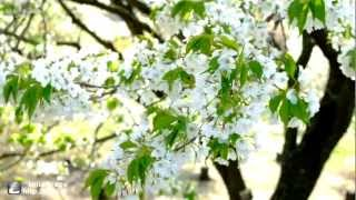 桜 (オオシマザクラ)   【HD動画風景】