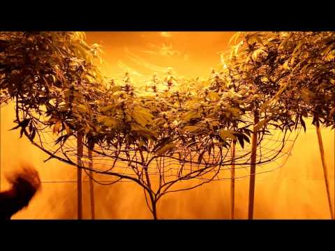 Mantenimiento de un cultivo de cannabis Critical Scrog